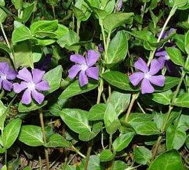 2月24日の誕生花は「ツルニチニチソウ」