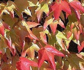 11月17日の誕生花は「ツタ」