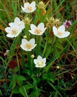 11月18日の誕生花は「ウメバチソウ」