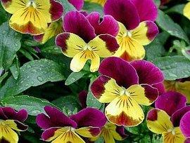 11月11日の誕生花は「ビオラ」
