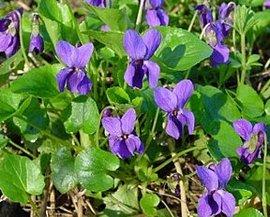 12月1日の誕生花は「ニオイスミレ」