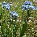 3月15日の誕生花は「ワスレナグサ」