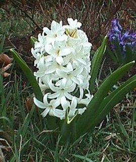 1月26日の誕生花は「白いヒアシンス」