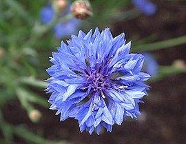 4月11日の誕生花は「ヤグルマギク」