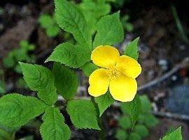 4月16日の誕生花は「ヤマブキソウ」