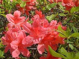 4月22日の誕生花は「ヤマツツジ」