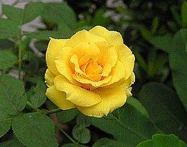9月23日の誕生花は「黄色いバラ」