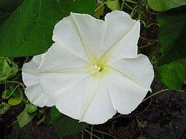 9月6日の誕生花は「ヨルガオ」
