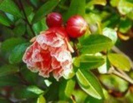 6月26日の誕生花は「ザクロ」