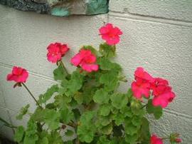 4月3日の誕生花は「ゼラニウム」