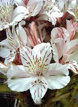 11月19日の誕生花は「白いアルストロメリア」