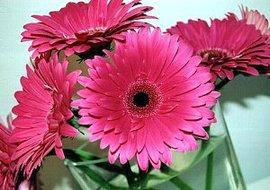 10月24日の誕生花は「ピンクのガーベラ」