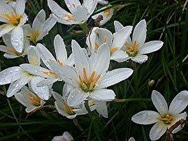 9月8日の誕生花は「タマスダレ」