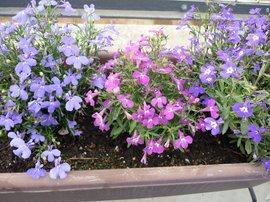 7月5日の誕生花は「ロベリア」