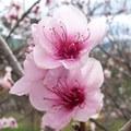 3月3日の誕生花は「モモ」